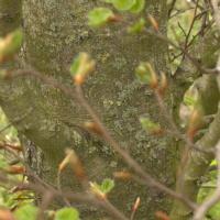 'Rotundifolia' stam, takken door de waas van jonge blaadjes