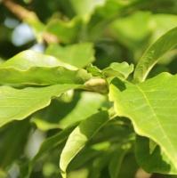Magnolia kobus blad