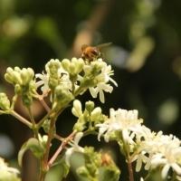 Heptacodium miconoides, zevenzonenboom