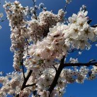 Prunus 'Yedoensis'