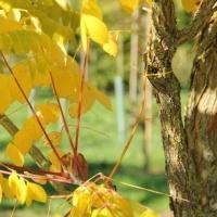 Gymnocladus dioica, doodsbeenderenboom