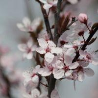 Prunus cerasifere 'Nigra'