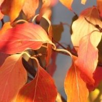 Cornus kousa, herfst