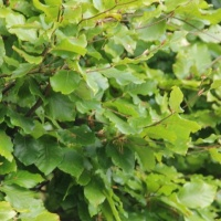 Fagus sylcatica blad