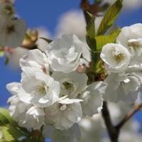 Prunus serrulata 'Shirotae'
