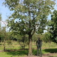 Prunus sagentii 'Rancho'