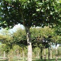 platanus x hispanica
