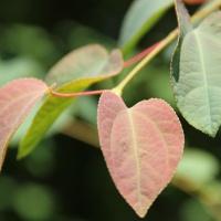 Hartvormige bladeren