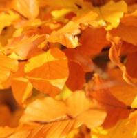 Fagus sylcatica herfstblad