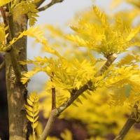 Goudgeel blad in het voorjaar