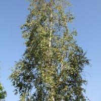 Betula pendula, ruwe berk