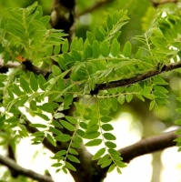 Het oudere groene blad