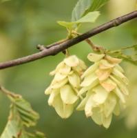 Carpinus japonica bloem