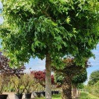 Amberboom grillige vorm met volle kroon