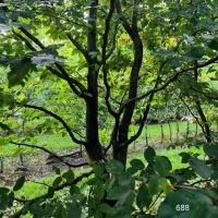 Fagus sylvatica klimboom