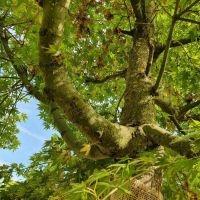 Japanse esdoorn, Acer Palmatum