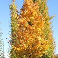 Carpinus betulus voorbeeld herfstverkleuring