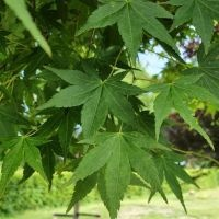 Japanse esdoorn boomvorm