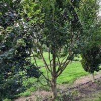 Fagus sylvatica 'Rotundifolia'