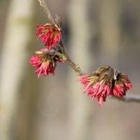 Parrotia persica bloei