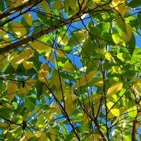 Prunus maackii 'Amber Beauty'