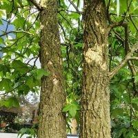 Liquidambar styraciflua, Amberboom stam
