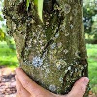 Carpinus betulus 'Frans Fontaine'  (Fastigiata)