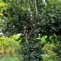 Vogelstruik Acer campestre