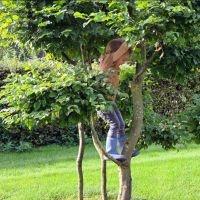 carpinus betulus klimboom