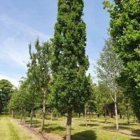Quercus robur 'Fastigiata', zuileik