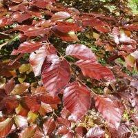 Rode beuk bladeren aan de bovenkant
