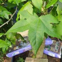 Liquidambar styraciflua, Amberboom blad