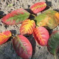 Amelanchier lamarckii herfstkleur