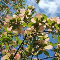 Cornus 'Stellar Pink'