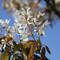 Amelanchier lamarckii bloem
