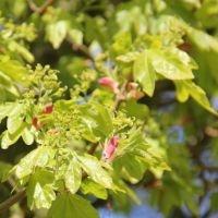 Acer campestre bloesem