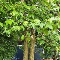 Liquidambar styraciflua, Amberboom