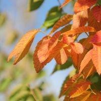Zelkova serrata herfstverkleuring