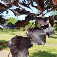 Dieprode bladeren
