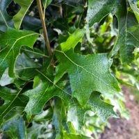 Quercus palustris 'Green Pillar'
