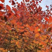 Rode bladeren in de zon