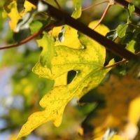 Acer campestre herfstkleuren