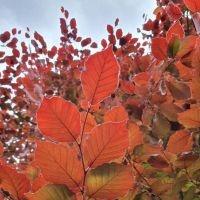 Rode beuk bladeren in de zon