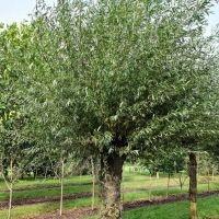 Salix Alba Knotwilg ECO-BOOM
