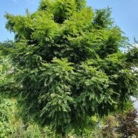 Gleditsia triacanthos 'Elegantissima'