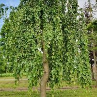 Unieke groene treurbeuk stam