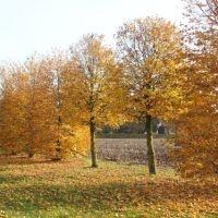 Tilia cordata 'Erecta' voorbeeld herfstkleur