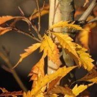 Fagus Aspleniifolia herfst