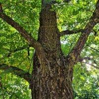 Robinia pseudoacacia 'Bessoniana', valse acacia