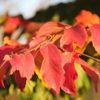 Parrotia persica herfstkleuren